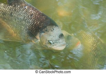Fish in the pond.