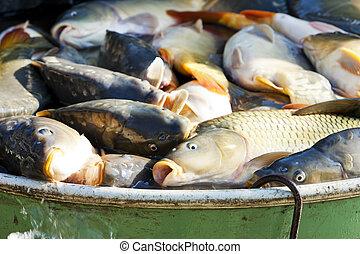 fish in vat during harvesting pond