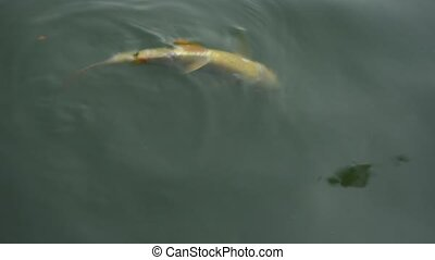Fish injury dying floating upside down in river
