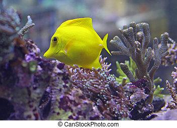 fish, jaune, exotique, clair, chaud, mer, midst, algues, natation