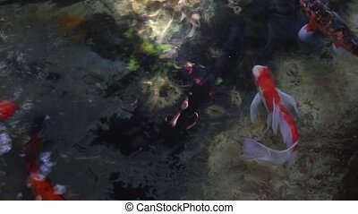 fish - Koi Carp in pond