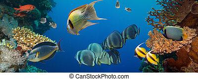 fish, koral
