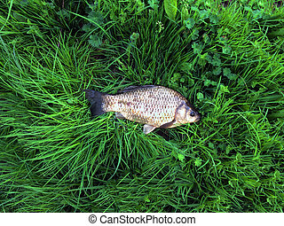 fish lies on green grass. Crucian caught on the river. Fishing