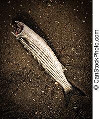 fish, mare, triglia, testa, spiaggia, senza