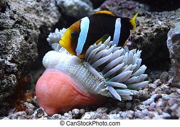 fish, nemo, actinie