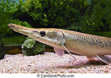 fish, nos, długi