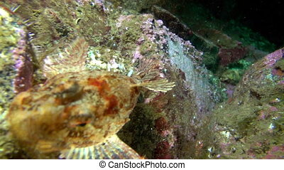 Fish of Barents Sea. Diving on background of blue lagoon and...