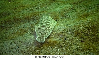 Fish of the Black Sea. Flat fish Sand sole Pegusa lascaris , similar to sand, slowly floats and lies at the bottom, raising the fin