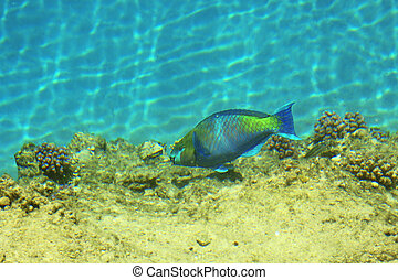 Fish parrot in the red sea