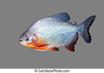 fish, piranha
