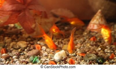 Fish - Red fish in aquarium