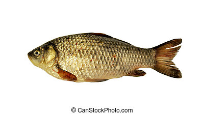 Fish river crucian carp isolated on white background.