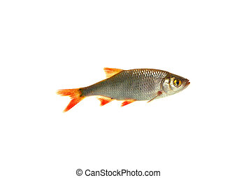 fish roach, - fish roach on white background