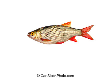 fish roach on white background