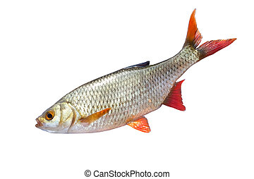 fish roach on white background...