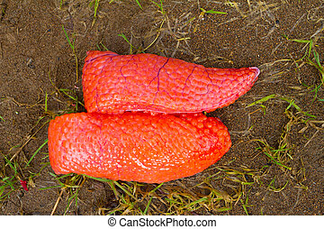 Fish Roe - Steelhead salmon roe is shown in tact on the ...