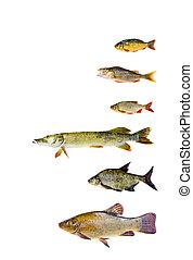 fish, sötvatten, olika, Kollektion
