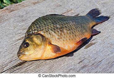 fish, słodkowodny, crucian