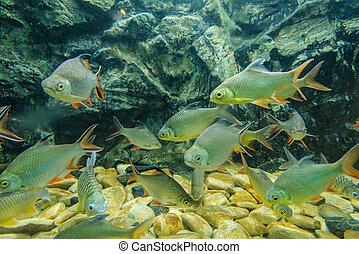 fish, słodkowodny