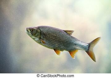 fish, słodkowodny, wobła, wspólny
