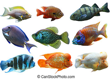 Fish Set - Colorful aquarium fish set isolated on white...
