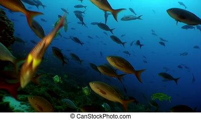Fish shoal angel butterfly underwater lagoon of ocean on...