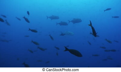 Fish shoal on a blue background of water in ocean on...