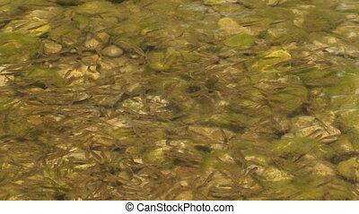 Fish shoal swimming in river water