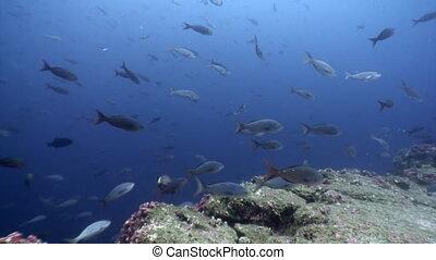 Fish shoal underwater lagoon of ocean on Galapagos. Amazing...