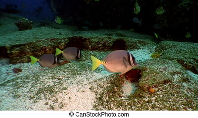 Fish shoal yellow angel butterfly underwater lagoon of ocean...