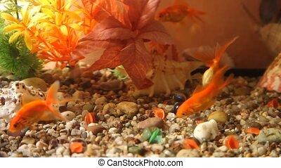 Fish - Red fish in aquarium