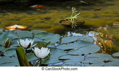 Fish swim among leaves in a pond