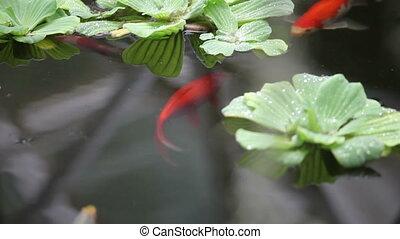 Fish swim among plants