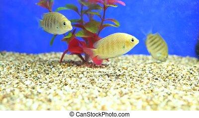 Fish swim in an aquarium