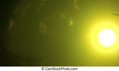 Fish swimming under water on a background of the bright sun and eating the bait.