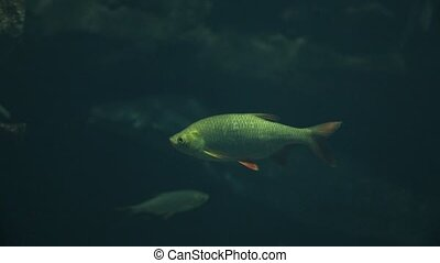 Fish swimming underwater - Fish swimming, common rudd in a...