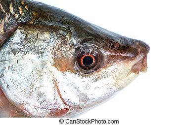 fish, tête, blanc, isolé