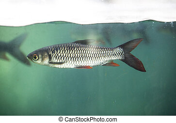 Fish under water surface line