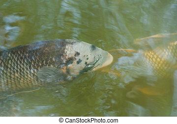 fish underwater in pond