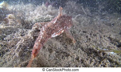 Fish underwater on seabed of Barents Sea. Diving on...