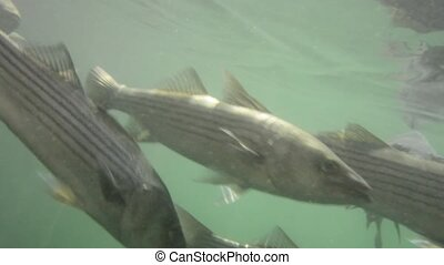 Fish underwater shot, group - A clear underwater shot school...