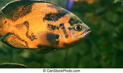Fish with a golden hue in a home aquarium - Fish in a Home...