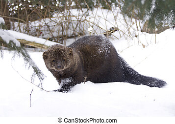 Fisher on ground in deep snow on winter day