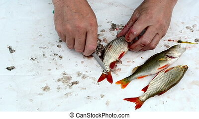 fisherman hands with knife clean rudd roach bass fish scales and guts on white background.