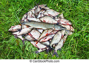 Fisherman trophy. Freshwater fish on the green grass