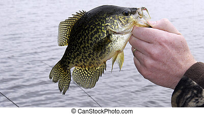 Fisherman with a caught Crappie