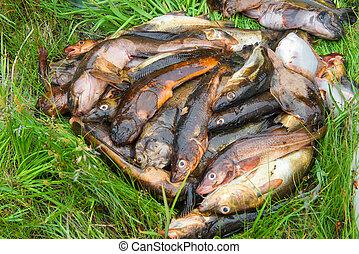 Fisherman's catch. Fresh caught fish lying on the grass