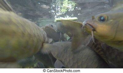 Fishes feeding. Video