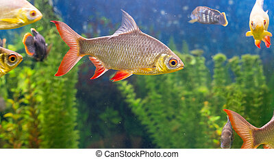 Fishes in aquarium - A photo of a common roach with a lot...
