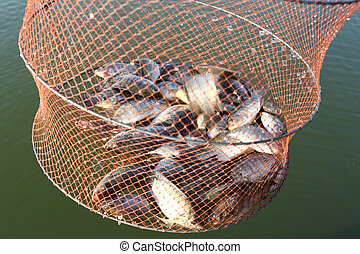 Fishes in mesh bag - Caught tilapia fishes in mesh bag